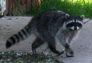 http://wildernessanimalcontrol.com/wildlife-animal-control/raccoon-removal/ Raccoons are dangerous and getting rid of raccoons at your home is essential. We provide raccoon removal services in Houston, Austin, Dallas and Fort Worth.