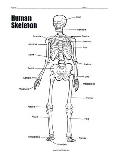 Blank Skeletal Diagram Renault Clio Wiring Human Skeleton Worksheet Homeschool Science Free Printable