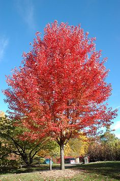 Autumn Blaze Maple Is A Hybrid Of The Silver Maple And Red