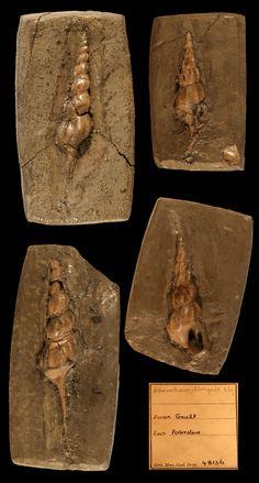 Pseudanchura ?? (Aporrhais) elongata Sowerby, 1836, Gault, Albien, Folkestone, UK, Coll BM(NH) n°48136, Copyright BM(NH)