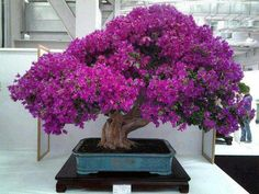 "Arts: This is a picture of a Bonsai Tree. Bonsai is the art of growing a miniature tree. Bonsai means ""Potted Tree"" in Japan. There are many different styles, and different ways to stagger the growth of the tree. Bougainvillea Bonsai, Flowering Bonsai Tree, Bonsai Trees, Ikebana, Plantas Bonsai, Japanese Flowers, Japanese Art, Japanese Culture, Cherry Blooms"