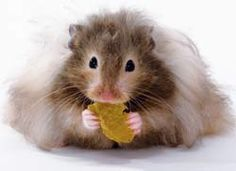 1000+ images about teddy bear hamsters on Pinterest | Hamsters, Teddy ...