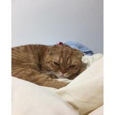 おはよう💕😻💕モモちゃん💕😻💕 まだ😅眠そう〜💕😻💕 #ペコねこ部#モモ#スコティッシュ#ねこ#ねこ部#スコ#スコ部#愛猫#ニャンスタグラム#cute#cat#catsofig#catsagram#catsofinstagram#ig_catphoto#にゃんすたぐらむ#にゃんすた#にゃんこ#茶トラ#茶トラ部#茶トラねこ#茶トラ倶楽部#にゃんだふるらいふ#picneko#ピクネコ#mofmo#고양이#scottishfold#みんねこ