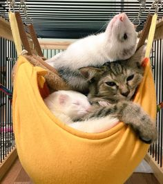 I want a ferret so bad! Nature Animals, Animals And Pets, Baby Animals, Funny Animals, Cute Animals, Funny Ferrets, Funny Cats, Funny Animal Pictures, Crazy Cats