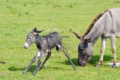 Newborn slate colored donkey foal trying to stand.  He has white points; Mom does not, due to recessive genes.
