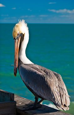 Very true of the Pelican...its beak can hold more than his belly can.