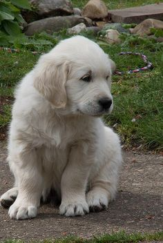 Golden Retriever puppy...that was my boy a year ago...what happened? ;)