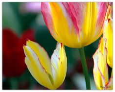 Yellow and pink tulips flower photography Wedding by hayagold