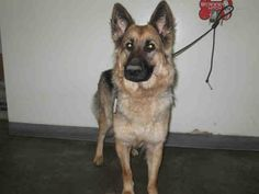 Meet A1548574, a Petfinder adoptable German Shepherd Dog Dog | Los Angeles, CA | Petfinder.com is the world's largest database of adoptable pets and pet care information....
