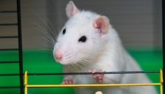 20 Talented Rats Who Would Like To Show Off Their Superior Smarts