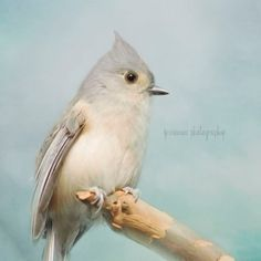 Blue Titmouse Bird Photography - A Moment's Rest - Winter Silver Blue Gray Feathers Titmouse Winter Bird