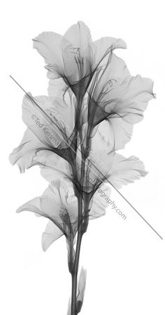 x ray flowers downloadable | ray of a gladiola flower. This low power x-ray shows all the ...