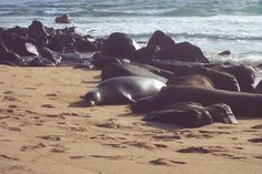 At first, these Kauai monk seals just blended in with the rocks. Guess they just had a little too much party in paradise.
