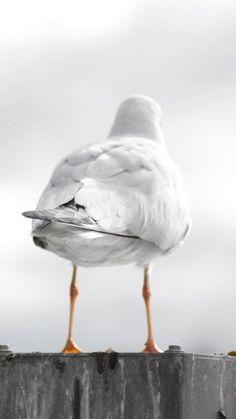 Seagull Buns