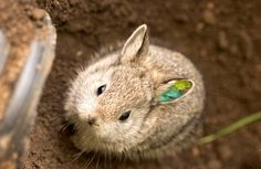 Pygmy Rabbit Endangered Species | Endangered Pygmy Rabbits Reintroduced to Wild
