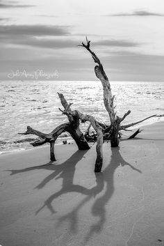Driftwood at Folly Beach, SC.