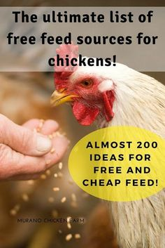 The ultimate list of free chicken feed resources. How to feed your chickens for free or very cheaply. Almost 200 ideas for saving money on chicken feed as told by homesteaders all over the web. #backyardchickens #homesteading #savingmoney