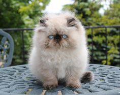 ALFENLOCH COFFEE CRISP Seal point male Himalayan kitten #persiancatmale #ragdollcat Cute Kittens, Cats And Kittens, Ragdoll Cats, Pretty Cats, Beautiful Cats, Cat Anime, Himalayan Kitten, Himalayan Persian Cats, Persian Kittens