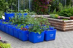 A variety of different edible vegetables growing in a container garden made from blue plastic recycing boxes.
