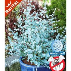 Winterharter Eukalyptus 'Azura®', 1 Pflanze - BALDUR-Garten GmbH