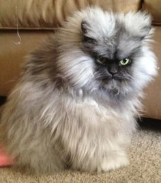 Colonel Meow - This is one grumpy looking kitty!