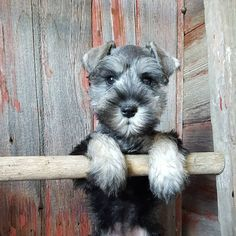 See this Instagram photo by @the_schnauzer_house • 476 likes