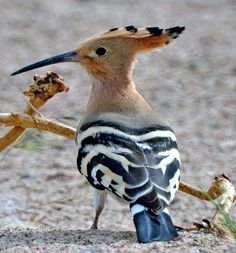 The Hoopoe - Upupa epops - is a colorful bird that is found across Afro-Eurasia, notable for its distinctive 'crown' of feathers.