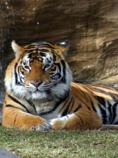 mike the tiger- I would totally cuddle with him.