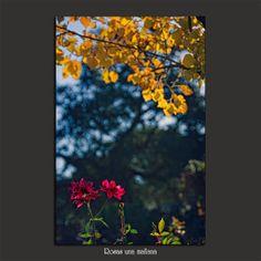 Meridiana claridad (Sofía Serra): Rosas una mañana