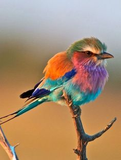 Saw many of these in South Africa. Beautiful - & cute! - bird. Lilac Breasted Roller.