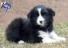Sweet border collie puppy