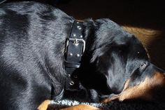 Do you have a big dog and always wanted one of those nice looking leather-studded collars