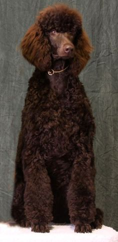 If you weren't a dog, a gigantic chocolate bar would be my wish! #dogs #pets #Poodles Facebook.com/sodoggonefunny
