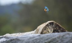 """Kingfisher diving after a stationary flight"" writes photographer Mehdi A."