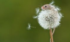 You'll be blown away: Amazing photos of harvest mouse who climbed up a dandelion in the breeze