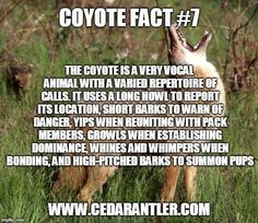 By understanding the different sounds that coyotes make and how they use them, you can implement these calls into your calling sequences when hunting coyotes. Quail Hunting, Coyote Hunting, Hunting Guns, Archery Hunting, Trophy Hunting, Coyote Facts, Bow Hunting Tips, Turkey Hunting Season, Hunting Calls