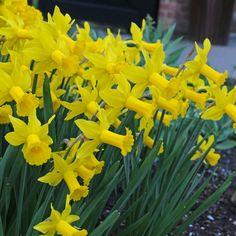 """""""Wenn Sie mich nach den Top 10 unter den Narzissen fragen würden, die Sie für Ihren Garten verwenden können, würde ich die 'Peeping Tom' ganz oben auf die Liste setzen."""" - Carlos van der Veek. Die Blumenzwiebeln gibt's bei www.fluwel.de"""