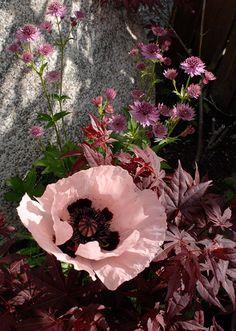 rabatt pioner Jttevallmo blir beroende p sort - Papaver Orientale, Indoor Flowers, Pink Garden, Greenhouse Gardening, Growing Plants, Garden Planning, Garden Inspiration, Trees To Plant, Beautiful Gardens