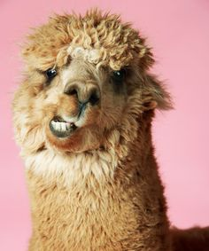 Funny Animal Pictures, Cute Funny Animals, Cute Baby Animals, Animals And Pets, Alpacas, Lama Animal, Wild Animals Photography, Cute Alpaca, Baby Alpaca