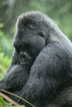 Africa | Profile of a silverback moutain gorilla in the rain. Virunga Mountains.  Rwanda | © National Geographic / Michael Nichols