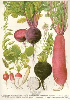 BEETROOT by VintageInclination