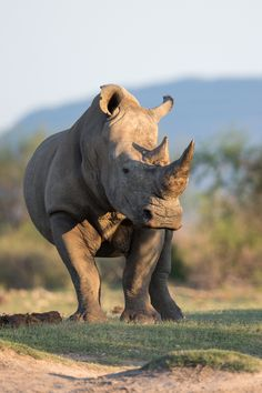 White Rhino. I wish we could turn Rhino Horn into a toxin to protect these wondrous animals