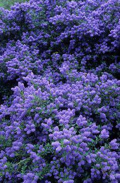California lilac. Ceanothus 'Concha'