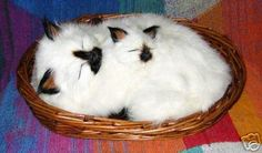 Goathair Siamese cat and kitten in basket