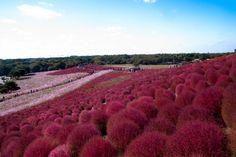Парк Хитачи-Сисайд, Хитатинака, префектура Ибараки, Япония