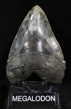 teeth Megalodon fossil shark tooth ammonites dinosaur tooth scorpion 50 items