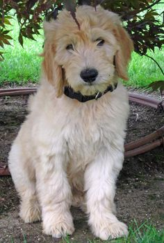 goldendoodles I'm usually not into cross breeding but he is so cute