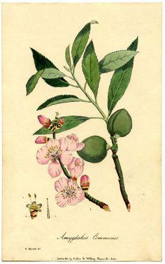 Botanical Almond Flower Print | The Graphics Fairy