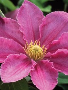 Clematis Abilene, z4, early summer then late summer rebloom, full sun to half sun and half shade,  4ft vine, 4inch flowers, rich pink then mature to lighter pink revealing a prominent central deep pink bar on each petal.