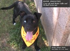 **RED-ALERTED!! FINAL MOMENTS ALIVE!!**  **EMERGENCY** 2 year old neutered male, black and white American Pit Bull Terrier and Border Collie ~ RAZOR - ID#A1417029 ~ Harbor Shelter - San Pedro, CA (L.A. Area)   Razor is an absolute sweetheart!!  I weigh approximately 45 pounds. I have been at the shelter since Aug 15, 2013.  http://petharbor.com/pet.asp?uaid=LACT1.A1417029  https://www.facebook.com/photo.php?fbid=368745479926025&set=a.226798724120702.59672.162131600587415&type=3&theater